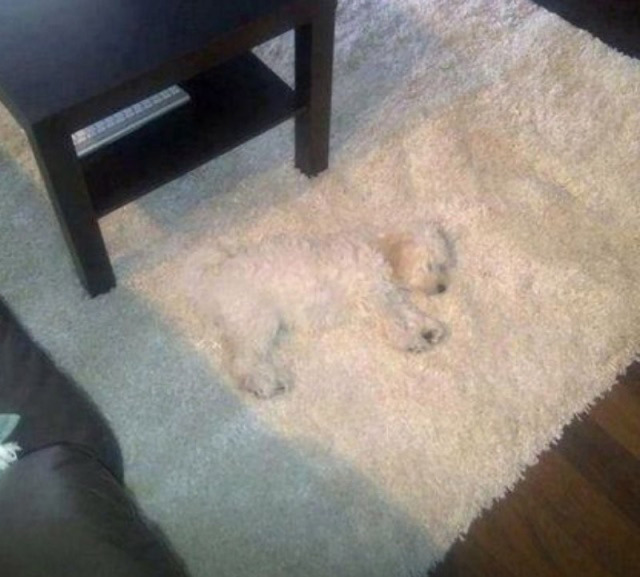 opticalusions-dog-blending-into-carpet