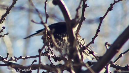Woodpecker 2013_01_18 01 Flying