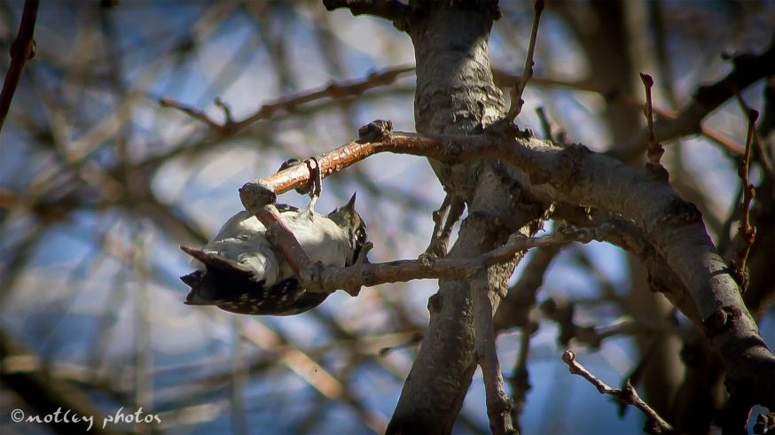 Woodpecker 2013_01_18 04