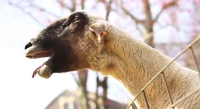 Goats Yelling Like Humans - Super Cut Compilation - YouTube