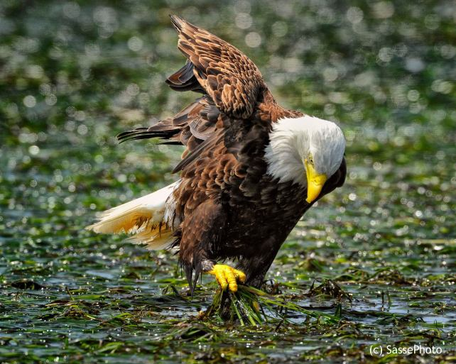 BaldEagle Christian Sasse photography