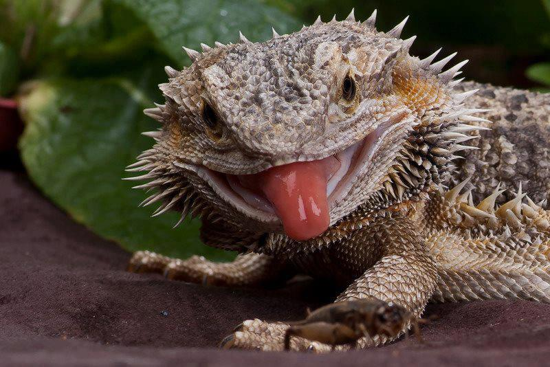 Can Beared Dragons Eat Chacalate Cake