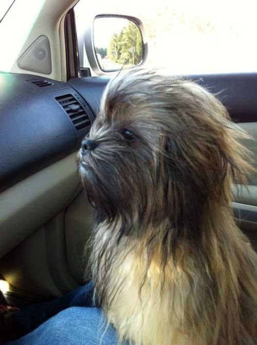 dog-looks-like-chewbacca-11