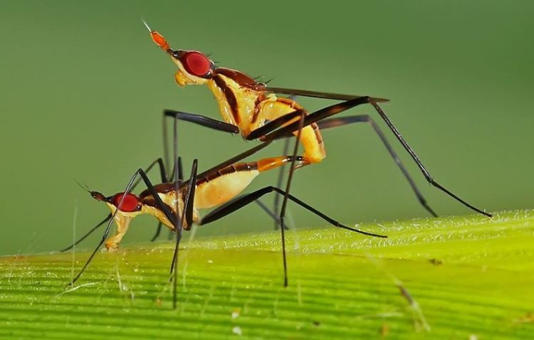 Mosquitos having sex