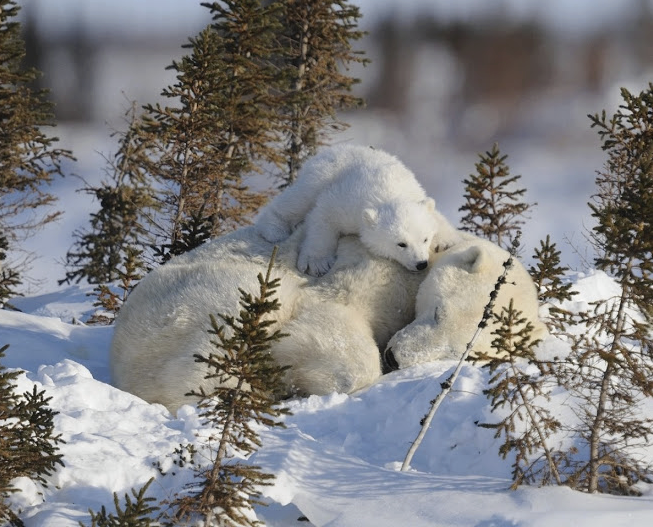 Mother polar bear and her cub