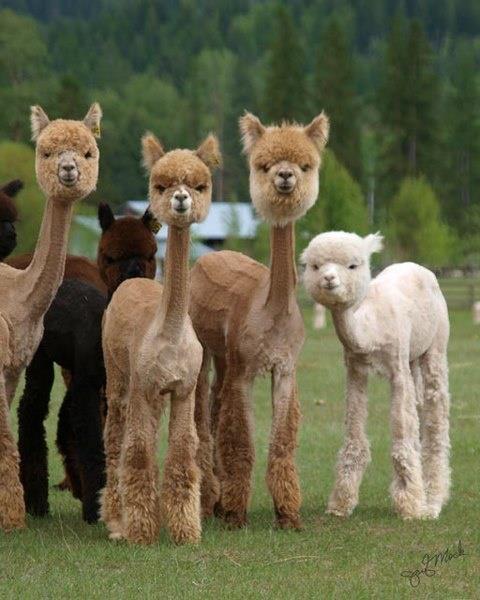 shave alpacas