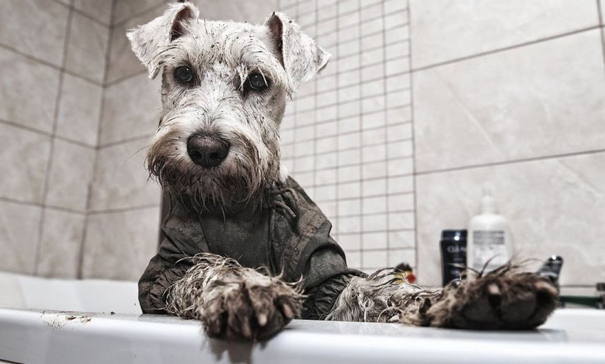 Very-muddy-Schnauzer-getting-ready-for-a-bath