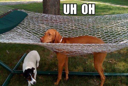 funny dog photo visla stuck in hammock