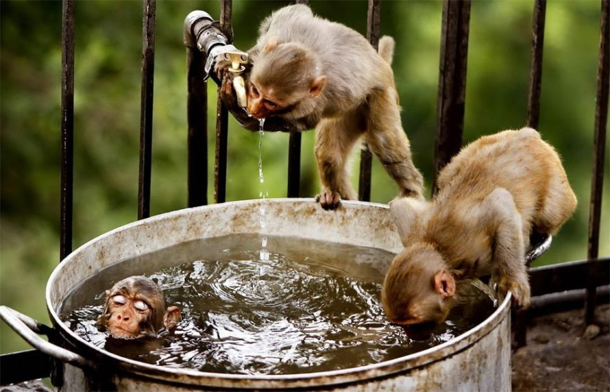 monkeys-bath-time