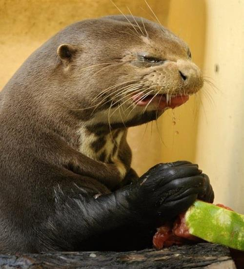 otter making face eating watermelon
