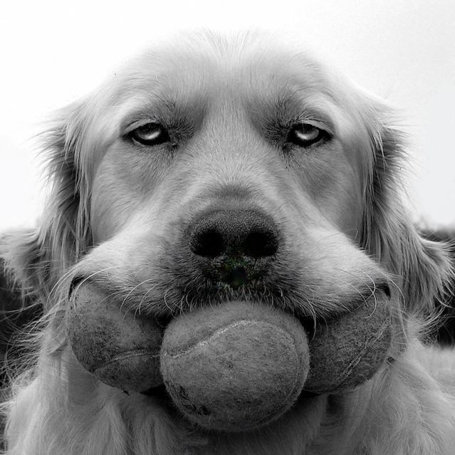 Retriever with three balls in mouth