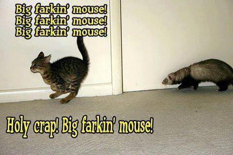 kitten running from ferret calling it a big farkin mouse