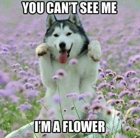 malamute can't see i'm a flower
