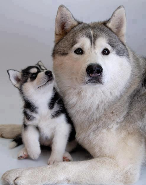 mother husky and pup