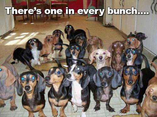 dachshunds theres one in every bunch