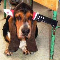 halloween-costumes-for-dogs-basset hound knife in head