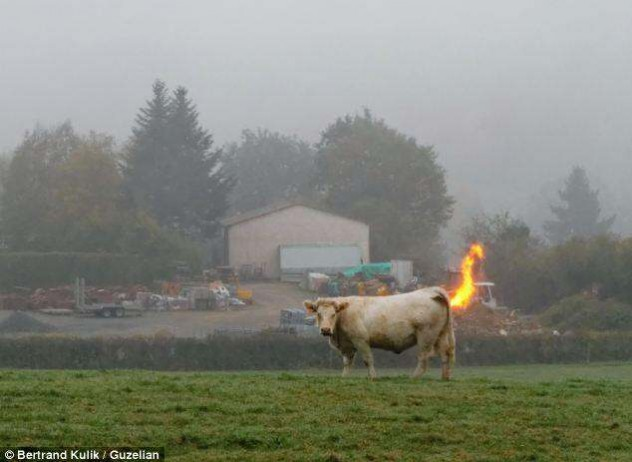 photos mess with mind cow farts fire