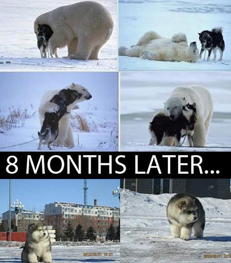 polar bear husky baby