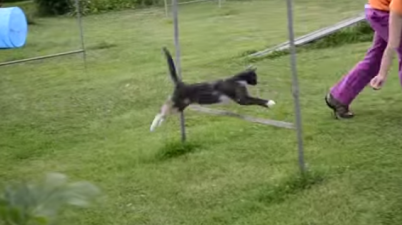 Cat running agility.