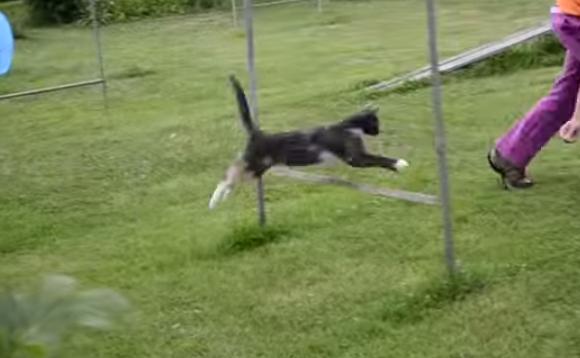 Cat running agility.