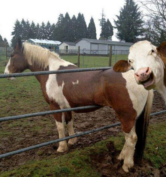 horse-stuck-in-fence-laughed-at-by-cow