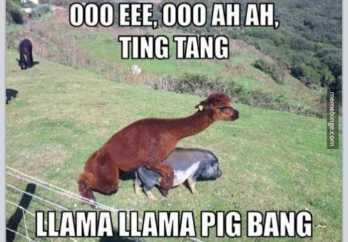 llama llama pig bang