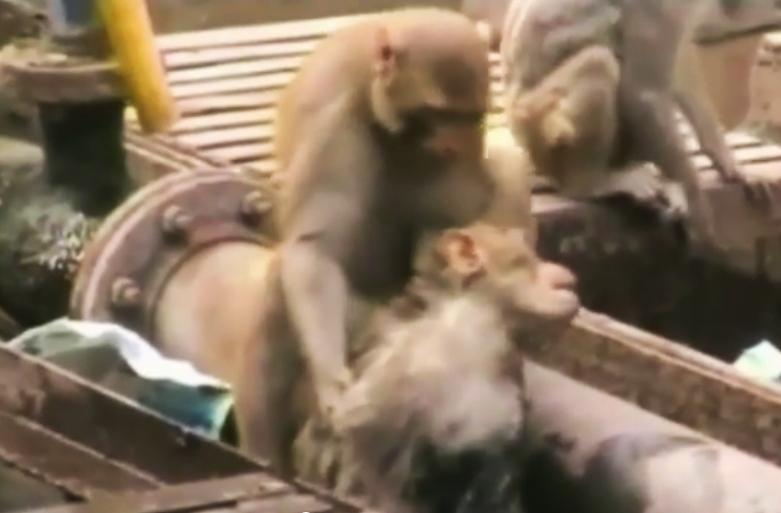 monkey-saves-monkey-india