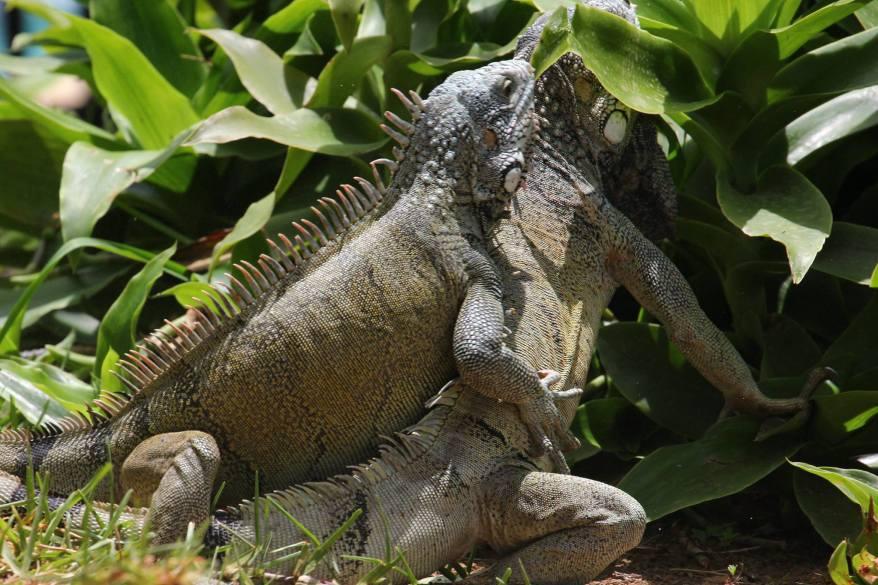 Iguana-battle-curacao-01