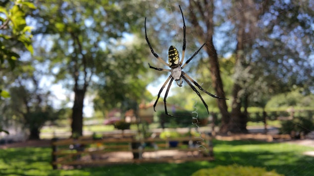 Black-and-yellow-garden-spider-01