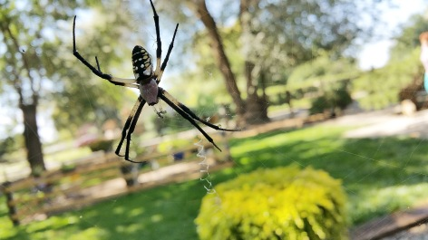 Black-and-yellow-garden-spider-02