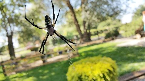 Black-and-yellow-garden-spider-02