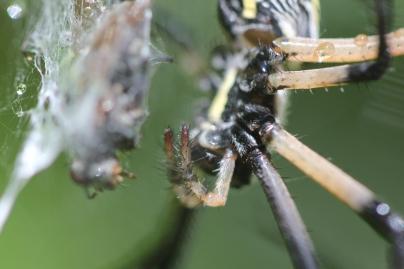 Black-and-yellow-garden-spider-03