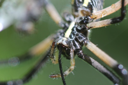 Black-and-yellow-garden-spider-04
