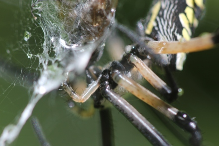 Black-and-yellow-garden-spider-05
