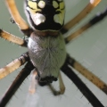 Black-and-yellow-garden-spider-06