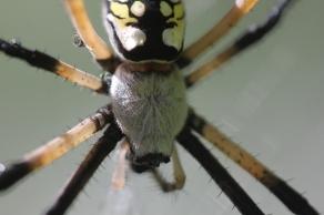 Black-and-yellow-garden-spider-06