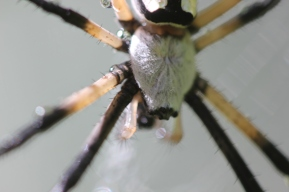 Black-and-yellow-garden-spider-07
