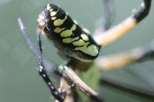 Black-and-yellow-garden-spider-08