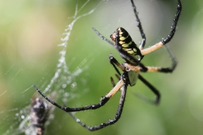 Black-and-yellow-garden-spider-09