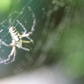 Black-and-yellow-garden-spider-12