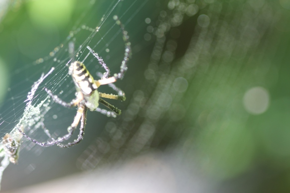 Black-and-yellow-garden-spider-12