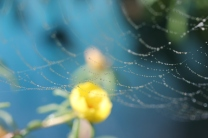 Black-and-yellow-garden-spider-13